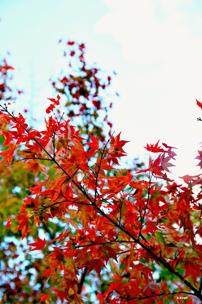อัพเดทใบไม้แดงที่เกียวโต