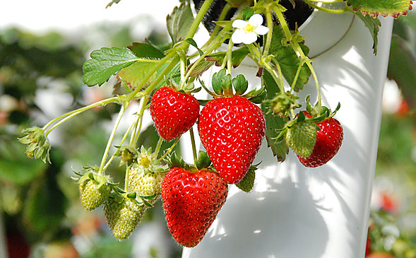 pic_strawberry_01