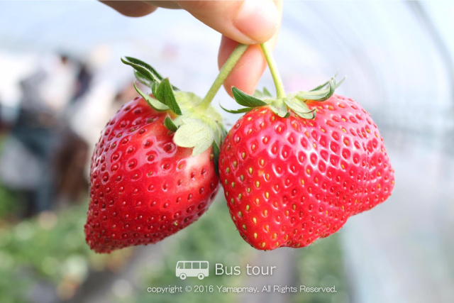 strawberrytochigi
