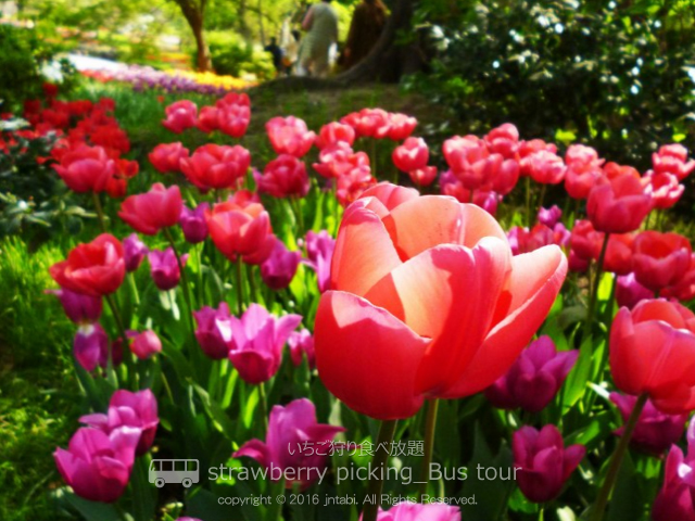 tulipbustour