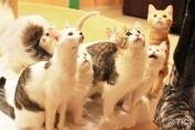คาเฟแมว